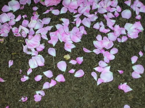 Fallen_rose_petals_1